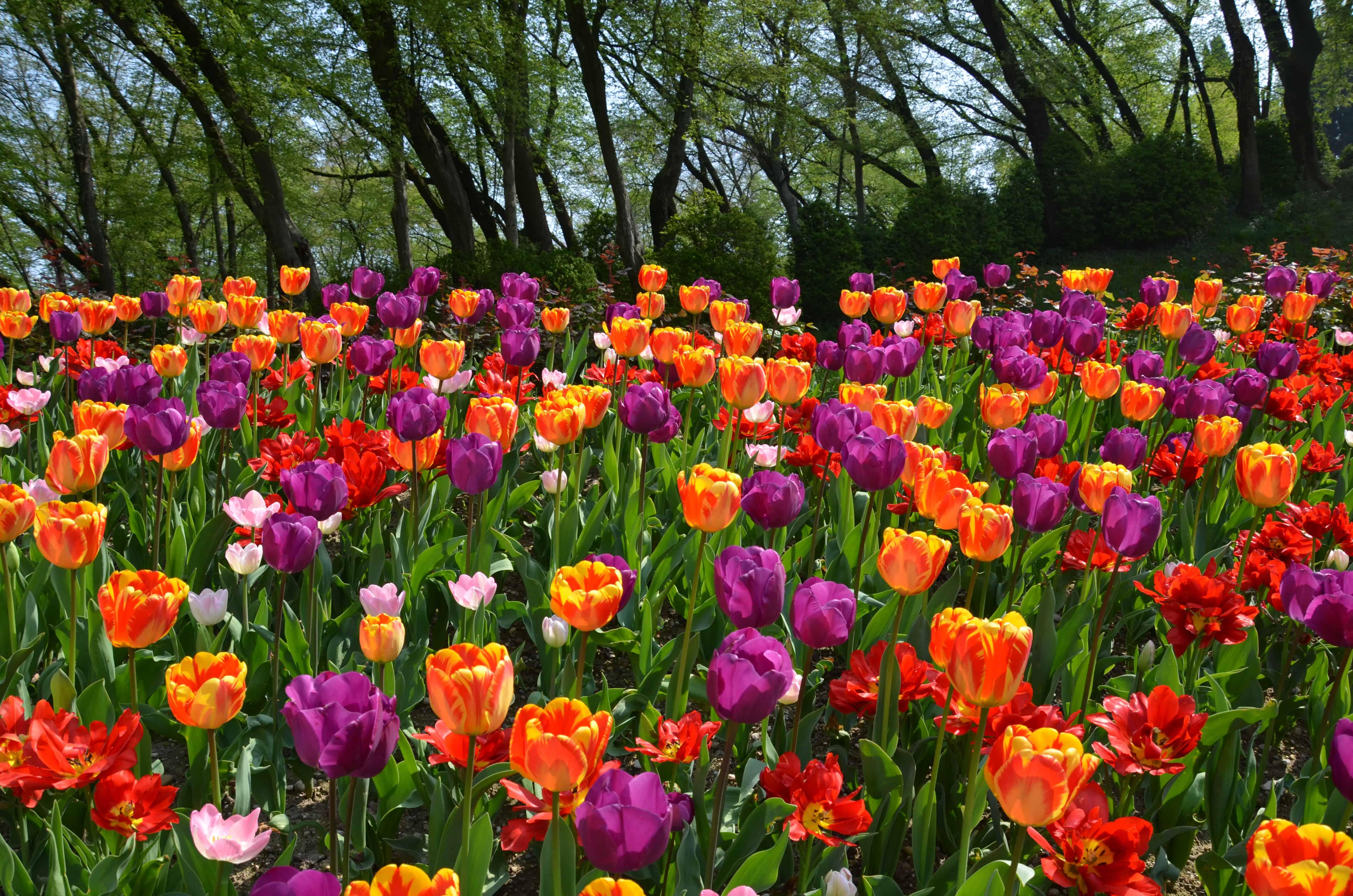 Tulipani wephoto il corso di fotografia a bologna - Parco giardino sigurta valeggio sul mincio vr ...