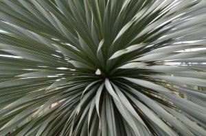 Pianta grassa presso il Giardino Botanico dell' isola di Madeira  ( Portogallo)