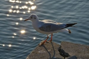 Gabbiano del lago di Garda, osserva...