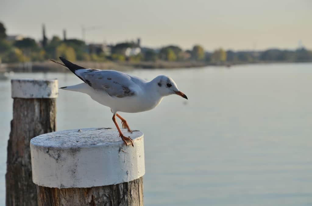 Gabbiano del lago di Garda, sta per spiccare il volo