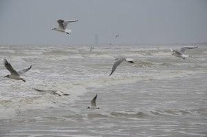 Gabbiani che volano sul mare mosso alla ricerca di cibo. Tempo : 1/250 sec. Diaframma : F/8 Iso : 125 Distanza focale : 105 mm.