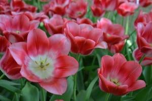 Tulipani aperti