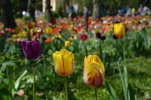 Tulipani : Fantasia di colori