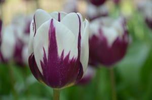 Tulipano sfumati viola