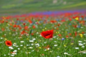 Immersione nei colori e sfumature dei prati fioriti di Castelluccio di Norcia (PG)