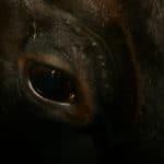 Vacca meticcia balia del vitellino di 1 mese.