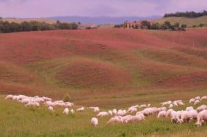 Alla scoperta delle Crete Senesi: colline fiorite di Sulla Tempo : 1/250 sec. Diaframma : F/8 Iso : 100 Distanza focale : 62 mm.