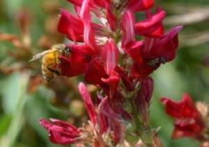 Alla scoperta delle Crete Senesi: ape sul fiore di sulla. Tempo : 1/250 sec. Diaframma : F/8 Iso : 125 Distanza focale : 105 mm.