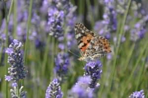 Festa della Lavanda 2016- lavandeto di Castelnuovo di Assisi- farfalla su fiore di lavanda- Tempo : 1/250 sec. Diaframma : F/8 Iso : 200 Distanza focale : 105 mm.
