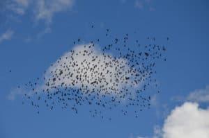 Centinaia di corvi in volo sulle dolomiti. Tempo : 1/320 sec. Diaframma : F/9 Iso : 100 Distanza focale : 105 mm.