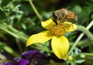L'ape sta sul fiore a prelevare il suo nettare. Tempo : 1/250 sec. Diaframma : F/8 Iso : 125 Distanza focale : 105  mm.