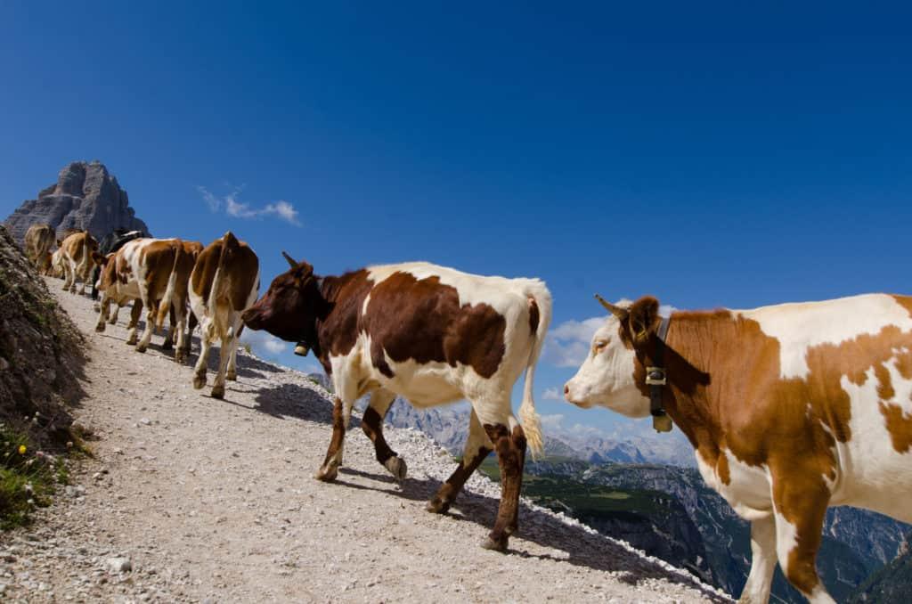 La carovana bovina