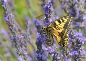 Farfalla Macaone su fiore di lavanda Tempo: 1/250 sec. Diaframma: F/8 Iso: 160 Distanza focale: 105 mm.